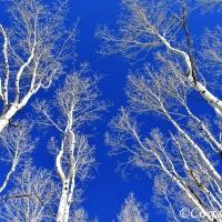 Aspen, un seul arbre pour toute une forêt !