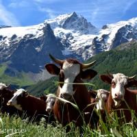 Le Chazelet - La vie de la Montagne, montée en Estive pour les vaches.