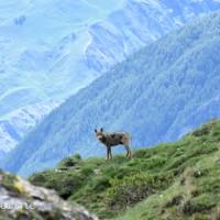 Parc National des Écrins – Rencontre avec le loup le 06.06.2020