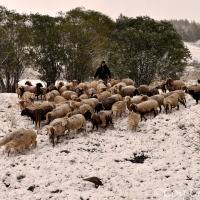 Le Chazelet, les moutons rentrent dans l'étable avec les premières neiges !