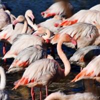 Balade dans la Reserve Ornithologique du Pont de Gau et aux Saintes-Maries-de-La-Mer.